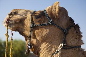 kamelsafari, thar wüste