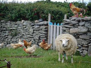 Irisches Schaf mit Hühnern