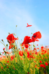Poppy field color background