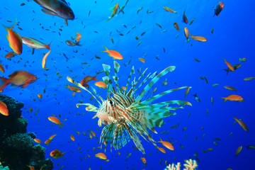 Lionfish surrounded by Lyretail Anthias