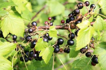 Blackcurrant bush, Ribes nigrum