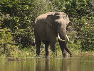 an indian elephant in sri lanka