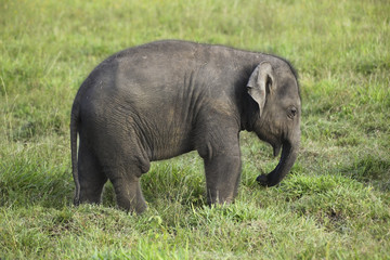 baby elephant in sri lanka 2