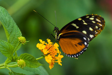 Heliconius tropical butterfly on Lantana