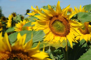 Sonnenblumen 8