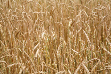 Background from ripe ears of wheat (rye)
