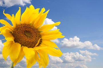big sunflower against the blue sky with clouds