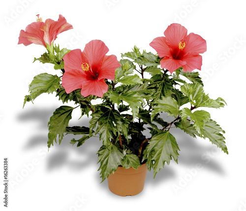 quot hibiscus en pot quot photo libre de droits sur la banque d images fotolia image 16263384