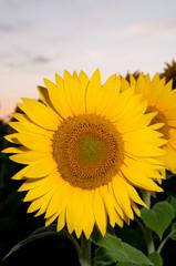 detail of beautiful sunflower