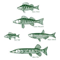 Fish freshwater vector-2