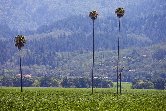 Palm Trees in Wine Crop