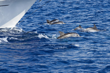 Wild dolphins playing around a ship in the Atlantic ocean