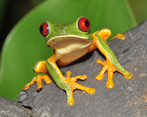 red eyed green tree frog curiously looking at camera