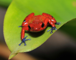 blue jeans or strawberry poison dart frog, costa rica 2