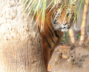 bengal tiger hiding behind tree