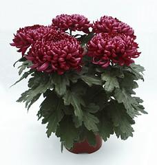 Chrysanthème grosses fleurs-pot