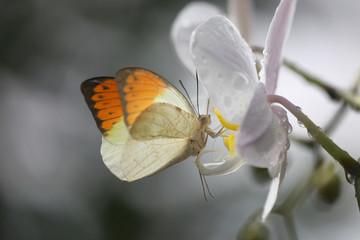 Anthocharis cardamin (Orange Tip) on a orchid 04