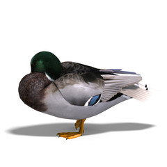 male duck mallard sleeping