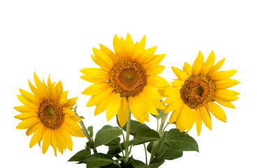 sunflowers isolated