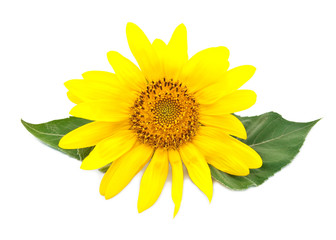 Bright young sunflower on a white background