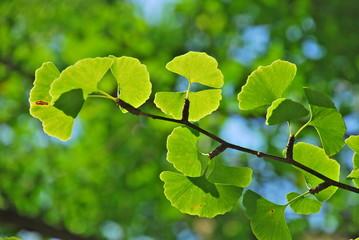 Gikgo Blätter