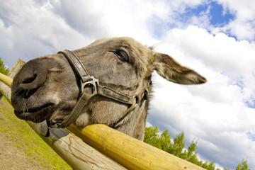 A litlle donkey.