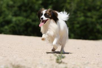 chien épagneul phalène qui gambade sur le sable