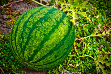 The big round striped green tasty ripe water-melon