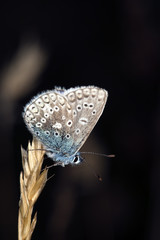 Blue wing sitting on straw.