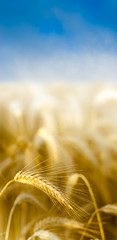 céréales - épis de blé sous le ciel bleu - image verticale