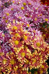 Field of two colors chrysanthemums.
