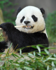 panda bear enjoying a light snack of bamboo