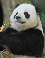 chinese panda bear munching on bamboo