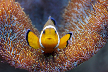 Tropical reef fish - Clownfish (Amphiprion ocellaris)