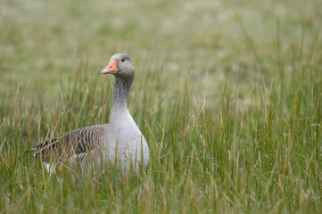 Oie cendrée (Anser anser - Greylag Goose)