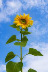 High sunflower