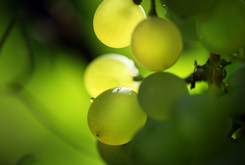 Wall Mural - Bunch of green grapes, macro close-up