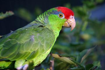 amazone joue verte,Amazona viridigenalis