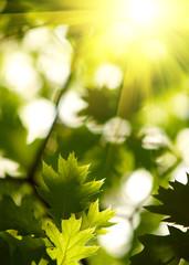 Fototapete - Maple leaves backgrond.