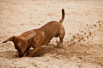 Dachshund puppy is digging hole on beach sand