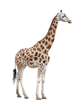 Giraffe female on white