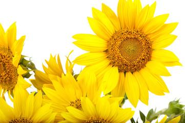 sunflowers isolated