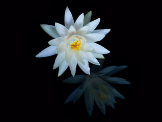 Water lily isolated on a black background