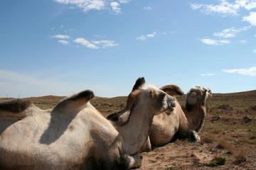 Trampeltiere in der Steppe - Kasachstan