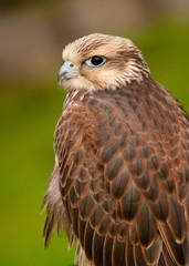 Falcon Portriat