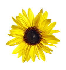bloom of the sunflower