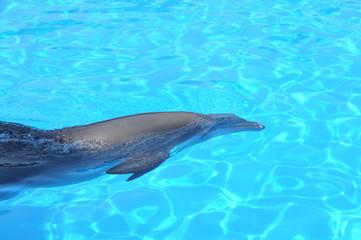Photo sur Aluminium Dauphins Delfin