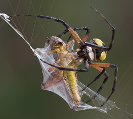 Argiope spider wrapping hopper