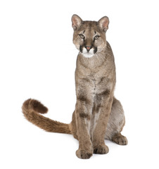Portrait of Puma cub, Puma concolor, 1 year old, sitting, studio