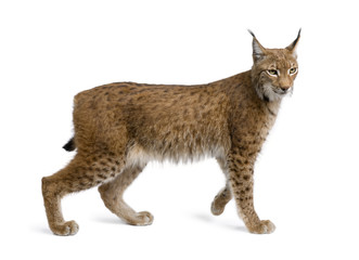 Photo sur Aluminium Lynx Eurasian Lynx, lynx lynx, 5 years old, standing, studio shot